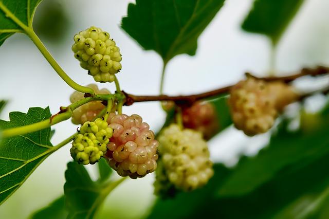 ovocné bobule