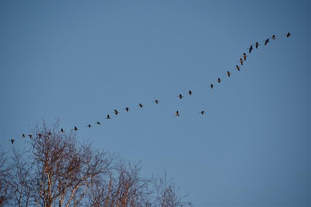 stěhovaví ptáci, jeřábi